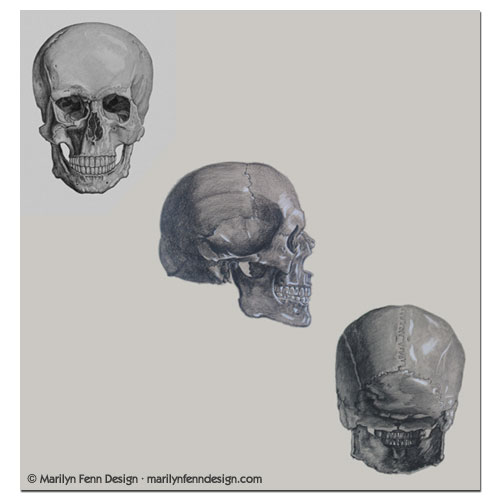 Bones of the Skull, front, side, and back views